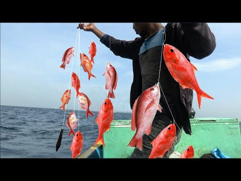 RED SNAPPER FISH CATCHING VIDEOS