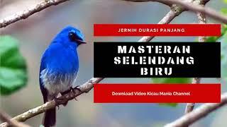 Single Terbaru -  Terapi Suara Masteran Selendang Biru Mp3 Burung