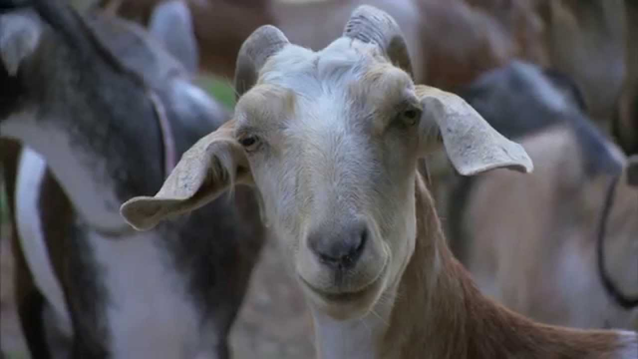 North Carolina Goat Farm America S Heartland