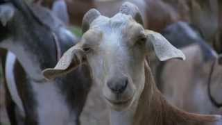 North Carolina Goat Farm - America's Heartland