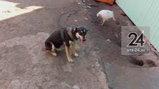 В Нижнекамске после операции по стерилизации здоровая собака стала инвалидом