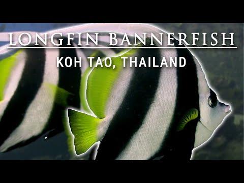 Longfin bannerfish Twins