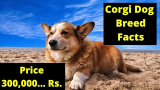 Welsh Corgi Dog Facts in Hindi : Popular Dog Breeds : TUC