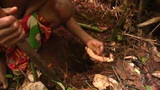 Hunter-gatherers foraging for wild yams in Congo rainforest