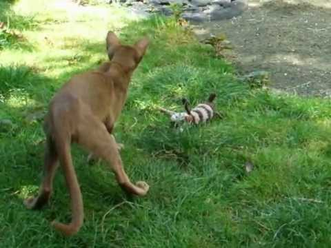 Oriental Shorthair cat playing fetch with stuffed toy