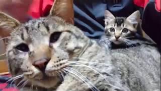 コゴロー子猫を可愛がる(='x'=)