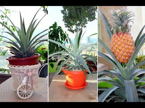 Ананас. Как вырастить ананас. Как правильно посадить ананас. Лайфхак. Часть 1.  Моя Dolce vita