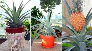 видео Как вырастить ананас в домашних условиях?