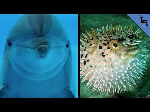 Dolphins Chew On Pufferfish To Get High