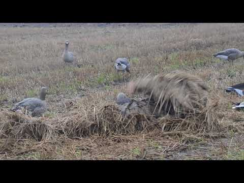 Geese Hunting From Layout Blinds