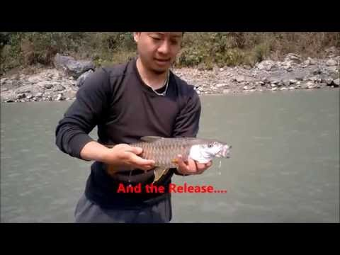 "Golden Mahseer : The Significance of ""Tight Line"" 2016- River Rangeet"
