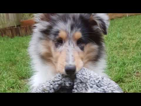 An introduction to Jasper the rough collie.