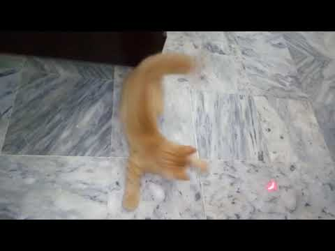 Persian Cat playing with bug