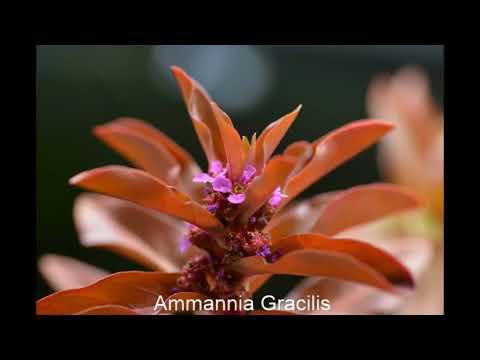 Plant Profiles: Ammannia Gracilis