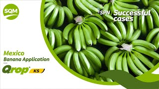 SPN Successful cases, Banana – Mexico