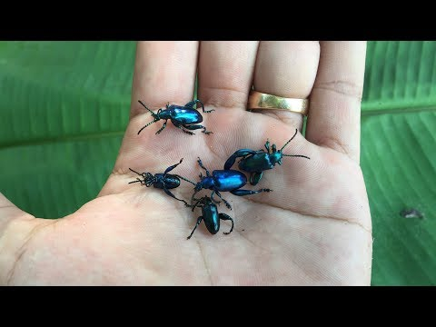 Catching Small Jewel beetle at Kompot Province | Cambodai Traditional