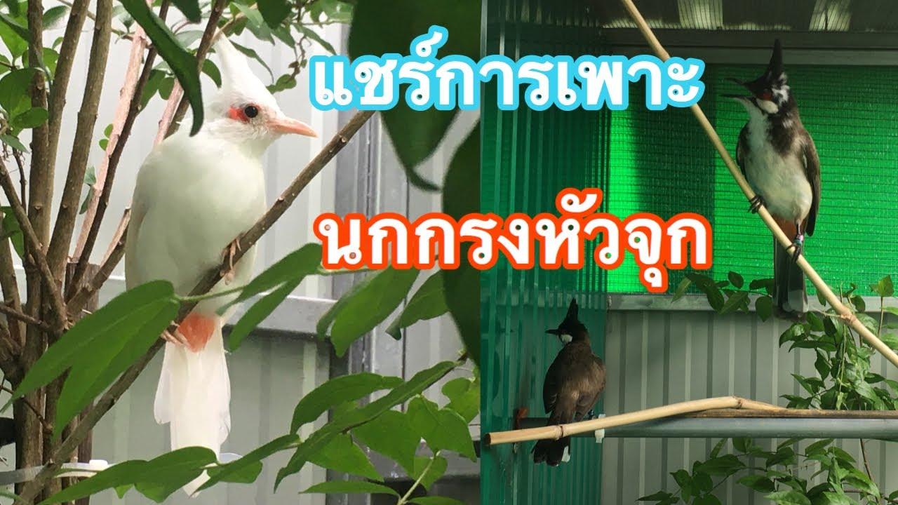 นกกรงหัวจุก | แชร์การเพาะนก จับคู่ แนะนำกรงเพาะ เพื่อทำฟาร์มเบื้องต้น (ซุปเปอร์ แจ๊ค) Ep.190