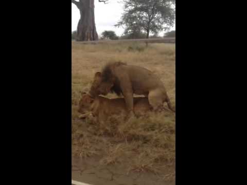 Lion mating wildlife safari in East Africa
