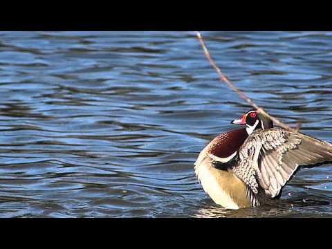 WOOD DUCK BATTING| DUCK LAKE WEATHER