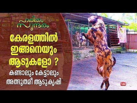 Stunning Goats Of Kerala | A Tale Of Profitable Goat Farming | Haritham Sundaram | EP 189