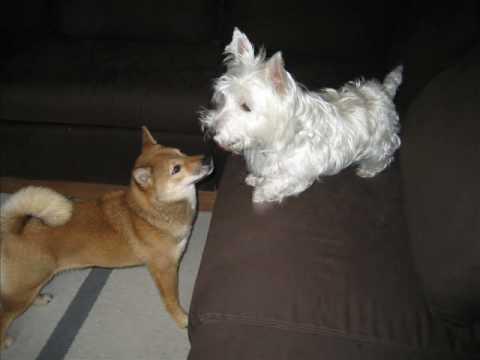 Shiba Inu Puppy Kaka Vs Westie Youtube