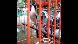 Cendet/pentet isian full tembakan lovebird