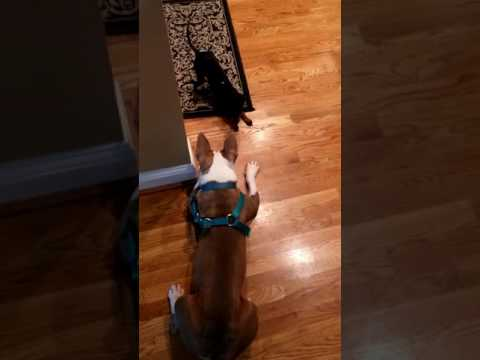 Floyd the pitbull mix and Mindy the toy Manchester terrier negotiating a treats treaty.