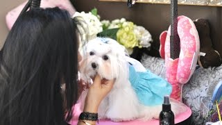 Grooming:  Dolce Daily Care:  Top Knot, Brush Out, Tear Stain Cleaning, Teeth Brushing Maltese Care