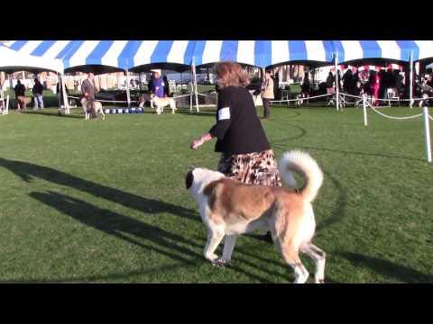 Palm Springs Kennel Club Dog Show 1-9-16 Anatolian Shepherd Dogs
