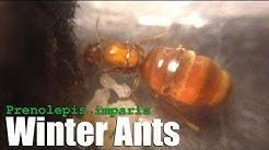 Winter Ants (Prenolepis imparis) False Honeypot Ants