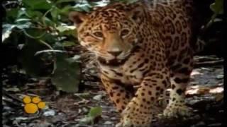 'El Jaguar' Un animal en peligro de extinción