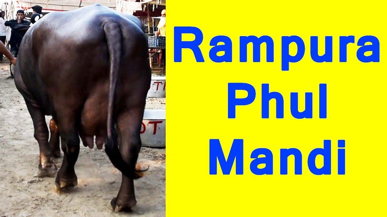 Heavy milker buffalo from Rampura Phul Mandi Punjab