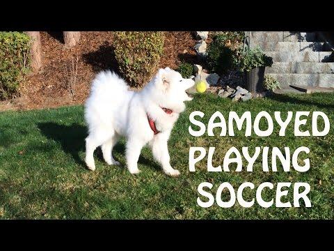 Samoyed Playing Soccer