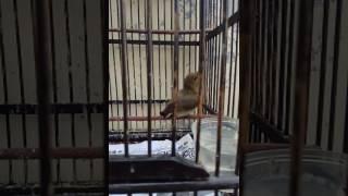 Konin / Kolibri Ninja ijoan sudah ngobra teler