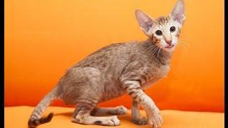 Интересные породы кошек!Веселое видео с кошками!