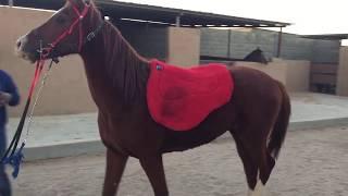 استكشاف اللبادة ووضعها على الحصان الضخم ( شجاع ٥ ) ومقادوته باللجام