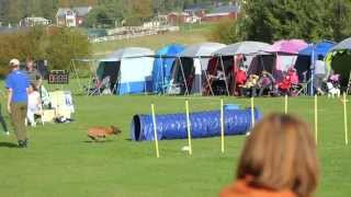 Staffordshire Bull Terrier Agility Tribute