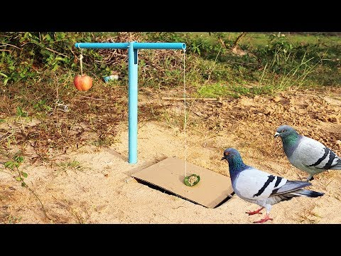 Easy Bird Trap Using Blue Pipe Cardboard and a Apple Fruit