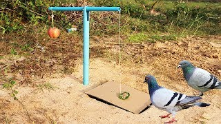 Download Easy Bird Trap Using Blue Pipe Cardboard and a Apple Fruit