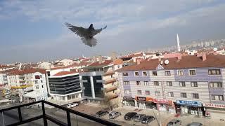 Güvercin uçurma part 1