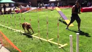 Rocky The Pit Bull Agility Dog Performing Agility Demonstra