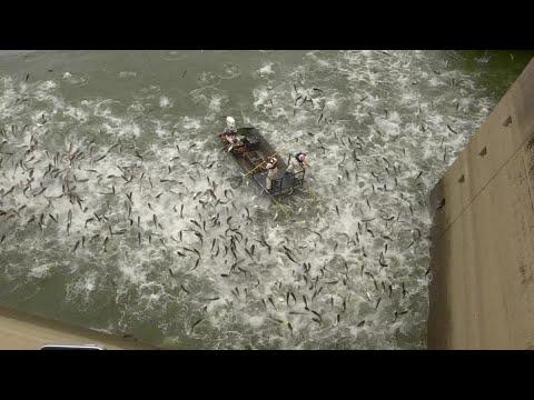 Asian Carp Fish Stunned In Electrofishing Experiment In Kentucky