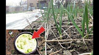 Подкормите этим озимый чеснок в апреле и мае для огромных зубчиков! Чем подкормить чеснок весной?