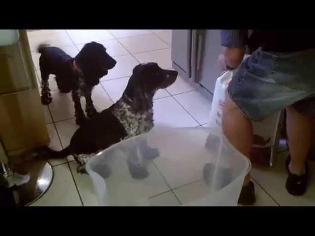 Cocker Spaniels And A Big Bag Of Dog Food