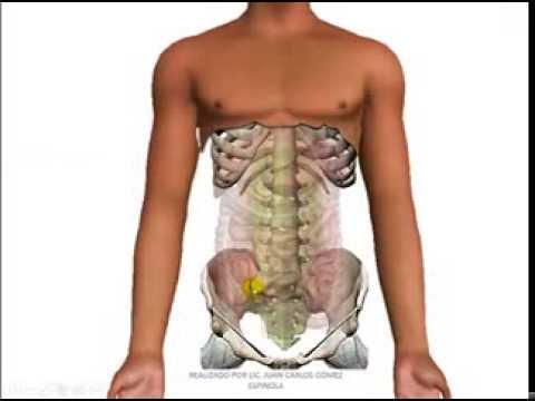paredes del abdomen irrigación e inervación - YouTube