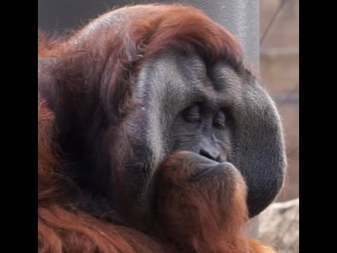 orangutan dating