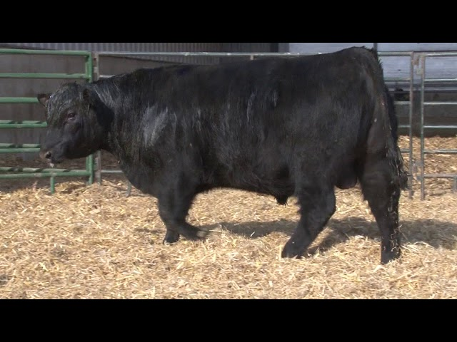 Schiefelbein Angus Farms Lot 112