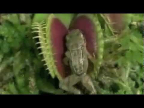 Carnivorous Plant Eats FROG and MOUSE !! new Killer-Plant discovered !