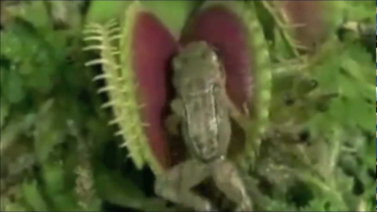 Carnivorous Plant Eats FROG and MOUSE !! new Killer-Plant ... Carnivorous Plants Eating