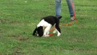 Brownwell Springers- English Springer Spaniel Puppies